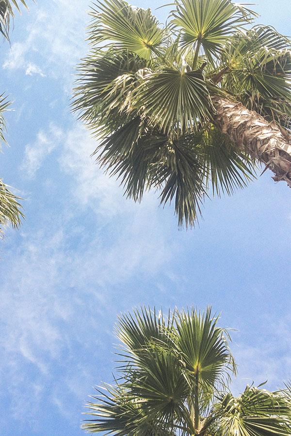 Palmen zur Wachsherstellung